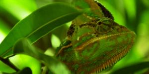 Imagem de um Camelão camuflado em meio às folhas verdes, simbolizando as mudanças e a resiliência.