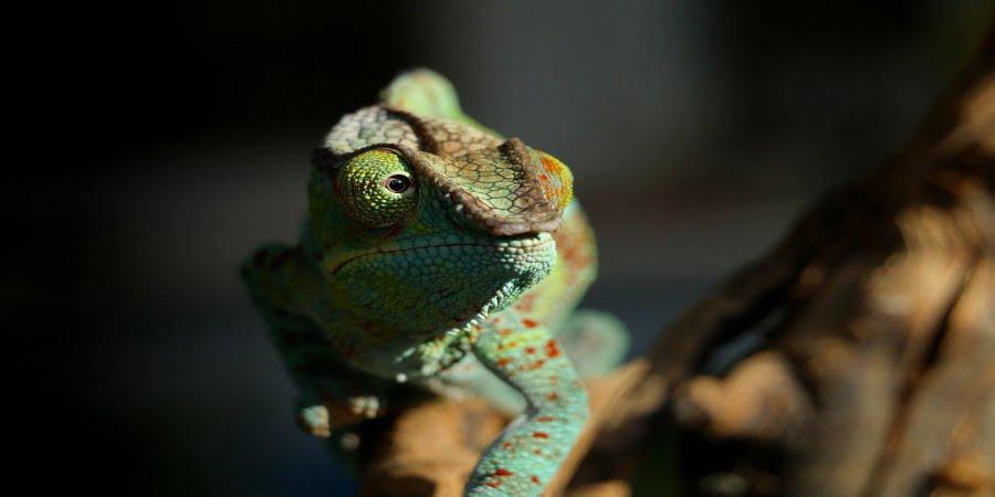 Imagem de um camaleão olhando para o lado, simbolizando a gestão de mudanças.